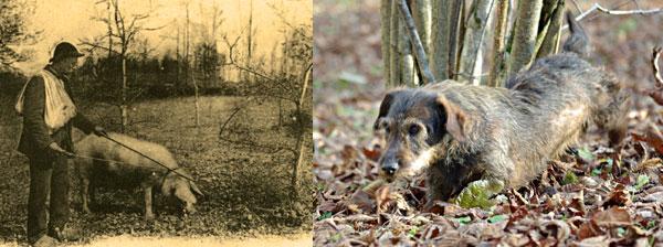 Ancienne et nouvelle méthode de cavage de la truffe