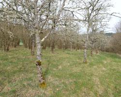 plantation truffière avec chênes