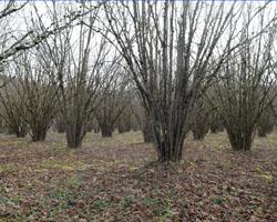 plantation truffière avec noisetiers