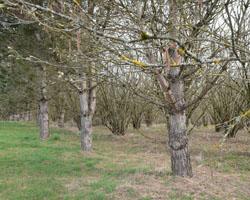 plantation truffière avec du pin noir