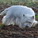 Formation de chiens truffiers