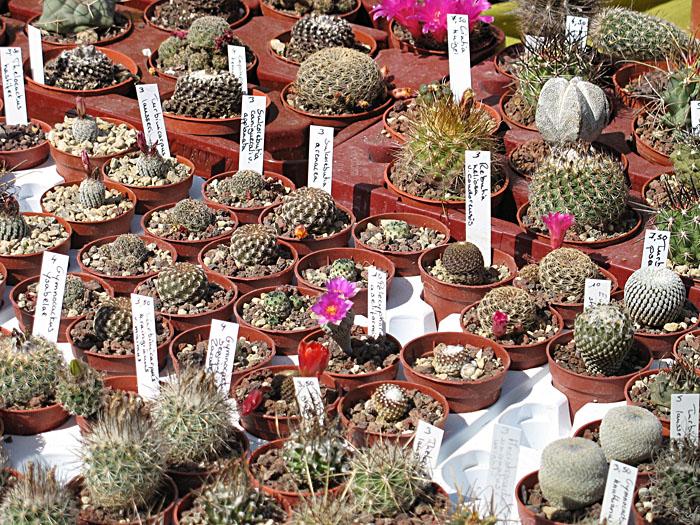 mini-cactus-foire-plantes-rares-bezouotte-2011