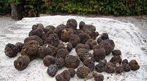 Récolte de truffes de bourgogne - Aux Deux Caveurs