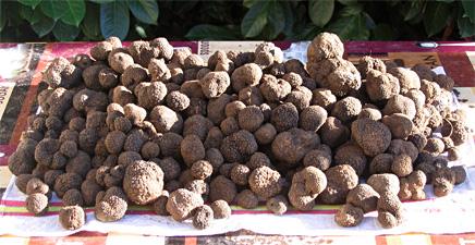 L'utilisation de chiens formés est la seule façon d'optimiser la récolte de truffes