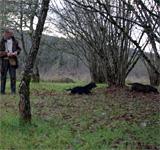 Récolte de la truffe de bourgogne pour des tiers