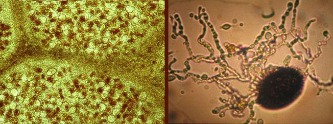 la gléba d'une tuber + spores de tuber mélanosporum