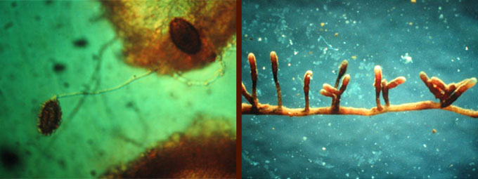 mycorhise tuber-melanosporum