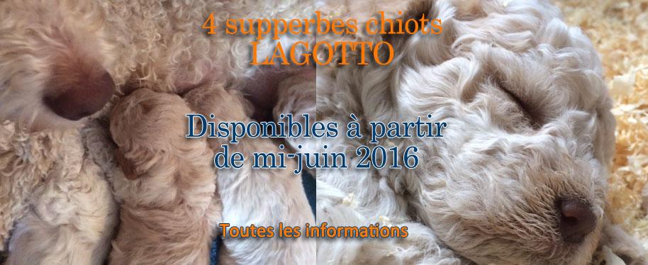 Chiots Lagotto