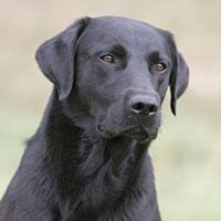 labrador noir chien truffier