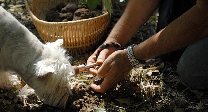 recherche-truffe-tuber-uncinatum-en-foret