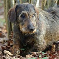 teckel chien truffier