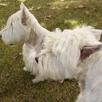 westies chiens truffiers